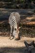 Bergzebra - Hartmann-Bergzebra - Equus zebra hartmannae