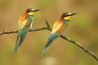 Leinwandbild Motiv European bee eater (Merops apiaster)