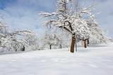 Apfelbäume mit Schnee in Winterlandschaft