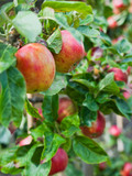 Apple tree in the orchard.