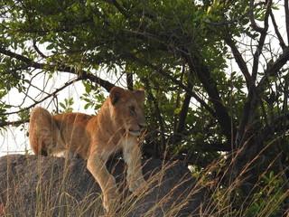 Lion cub on ledge