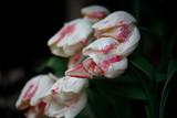 Tulpenblüte © kreativtraum
