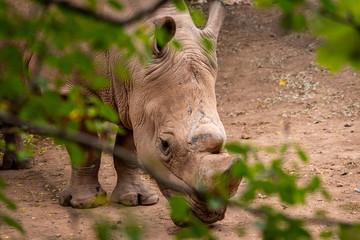 nashorn streift im zoo umher