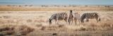 Fototapeta Sawanna - Zebras im Grasland, Etosha National Park, Namibia © Michael