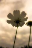 white cosmos flower under view © taweesak