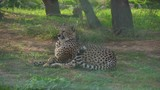 Gepard resting in the national park. Acinonyx jubatus. - 234449965
