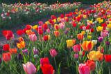 bunte Tulpen auf dem Feld im Gegenlicht © SusaZoom