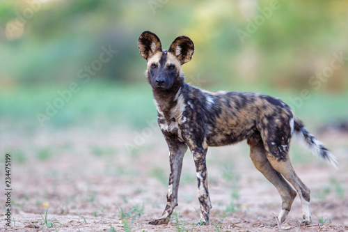 Wil dog in a dry riverbed in Zimanga Game Reserve near Mkuze in South Africa