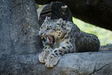 A Himalayan snow leopard (Panthera uncia) lounges on a rock, beautiful irbis in captivity at the zoo, National Heritage Animal of Afghanistan and Pakistan, elegant cat showing its teeth