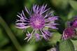 canvas print picture - Fiordaliso stoppione (Centaurea jacea)