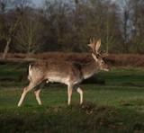 Single deer with antlers side on