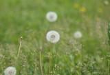 dandelion at spring © Valeriy
