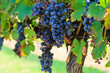 Leinwanddruck Bild - Grapes Ready to Harvest Hanging on a Grapevine