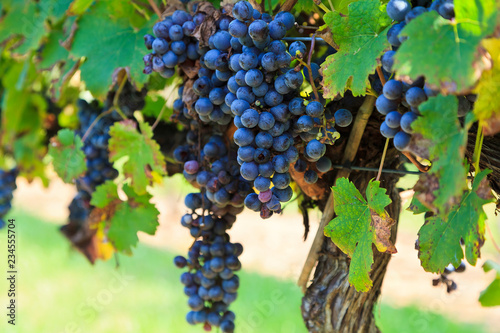 Leinwanddruck Bild Grapes Ready to Harvest Hanging on a Grapevine