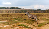 Zebras in the jungle of Kenya under a cloudy sky © Tomas