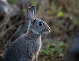 Young wild common rabbit (Oryctolagus cuniculus) sitting and alert in a meadow on a frosty morning with dew - 234569546