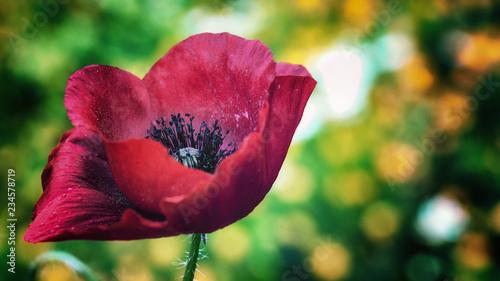 poppy macro - 234578719