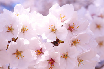桜の花 ソメイヨシノ