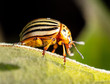 Colorado potato beetle on a green leaf in nature