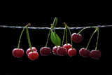 A lot of ripe summer cherries on a string against a black background. Fresh juicy berries on a branch with raindrops
