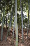 大磯城山公園の竹林 © master