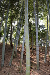 大磯城山公園の竹林