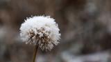 frozen dandelion on a blue background © Midnightsoundscapes
