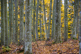 An autumn forest landscape. Close-up view of beech trees, green and golden leaves, Germany - 234739703