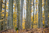An autumn forest landscape. Close-up view of beech trees, green and golden leaves, Germany - 234739706