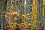 An autumn forest landscape. Close-up view of beech trees, green and golden leaves, Germany - 234739707