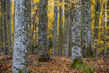 An autumn forest landscape. Close-up view of beech trees, green and golden leaves, Germany - 234739720