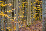 An autumn forest landscape. Close-up view of beech trees, green and golden leaves, Germany - 234739725