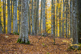 An autumn forest landscape. Close-up view of beech trees, green and golden leaves, Germany - 234739727