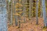 An autumn forest landscape. Close-up view of beech trees, green and golden leaves, Germany - 234739728