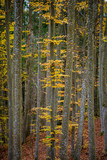 An autumn forest landscape. Close-up view of beech trees, green and golden leaves, Germany - 234739773