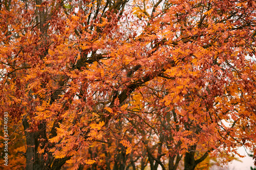 beautiful rowan trees in the autumn season - 234740533