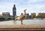 cute seagull in front of the Thames river London city United Kingdom - the Westminster bridge and Big Ben clock background