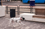 Dalmatian dog running on the street alone