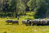 Bieszczady Mountains, Poland. Sheeps in the pasture.