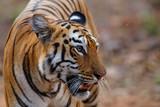 Female tiger in Todoba National Park in India