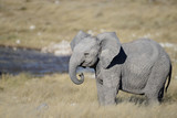 A very cute baby elephant stands side on with its little trunk curled, it is in front of a waterhole in Etosha National Park, Namibia, Africa