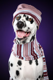 Dalmatian dog in knitted cap on violet background