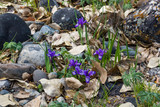 blooming blue iris in the meadow, Altai, Russia