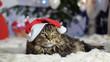 Leinwandbild Motiv Funny laizy Maine Coon cat as Santa Claus wears christmas cap sits by beautiful new year decorated fir-tree.