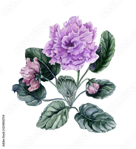 Beautiful pink and purple african violet flowers (Saintpaulia) with green leaves and closed buds isolated on white background. Watercolor painting. © katiko2016