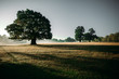 Leinwanddruck Bild - A giant oak tree standing in the misty morning casting shadows over the dewey pasture