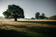 Leinwandbild Motiv A giant oak tree standing in the misty morning casting shadows over the dewey pasture