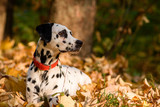 Dalmatian dog sitting on yellow leaves.