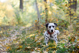 Sweet cute  dog puppy lying on a green meadow. Dalmatian walking outdoor. Cute dog has fun in forest, playing on lawn. Copy space