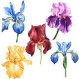 watercolor multicolored iris set blue yellow red violet